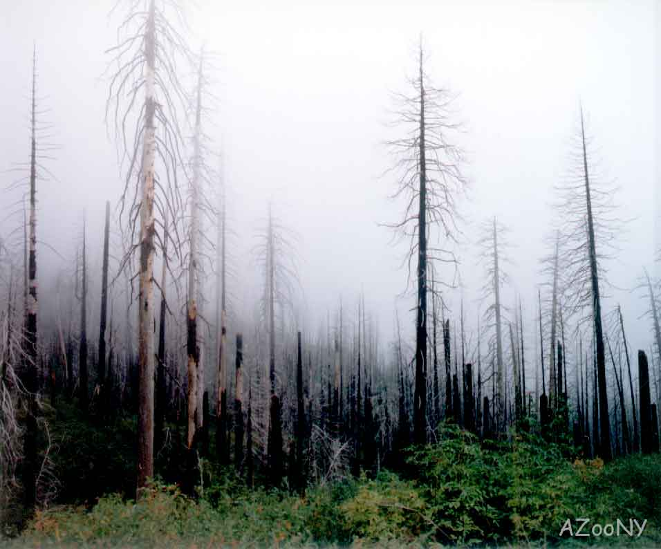 Dead-Trees-in-Mist-AZooNY.jpg